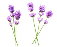 Set of lavender flowers elements on a white background, isolated. Set of lavender flowers elements. Collection of lavender flowers on a white background. Top royalty free stock image