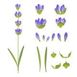 Set of lavender flowers. Stock Image