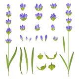 Set of lavender flowers. Stock Photos