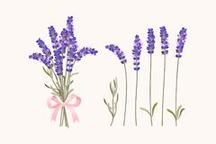 Set of lavender flowers. Vector set of high detailed lavender flowers Royalty Free Stock Photo