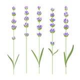 Set lawendowi kwiaty Zdjęcia Stock