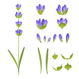 Set lawendowi kwiaty Obraz Stock