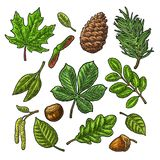 Set leaf, acorn, chestnut and seed. Vector vintage color engraved. Illustration. Isolated on white background royalty free illustration