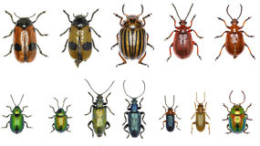 Set of Leaf-beetles of Europe  -  Chrysomelidae Stock Photo