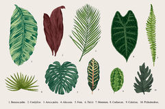 Set Leaf. Exotics. Vintage vector botanical illustration. Stock Image