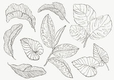 Set Leaf. Exotics. Vintage vector botanical illustration. Set Leaf. Exotics. Vintage vector botanical illustration Monochrome Stock Images