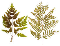 Set of leaf fern pressed Royalty Free Stock Photo