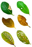 Set of Leaf with holes. Eaten by pests Stock Photos
