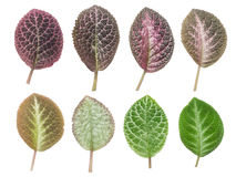 Set of leaf,isolated Stock Photography