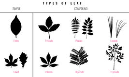 Set of Leaf types infographics. Silhouette Vector Royalty Free Stock Image