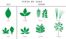 Set of Leaf types infographics. Silhouette Vector Stock Photos