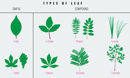 Set of Leaf types infographics. Silhouette Vector Royalty Free Stock Images