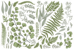 Set with leaves and ferns. Set with leaves. Botanical illustration. Fern, eucalyptus, boxwood. Vintage floral background. Vector design elements. Isolated Royalty Free Stock Photo