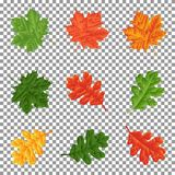 Set - leaves of maple and oak for natural decoration. Isolated. Royalty Free Stock Photo