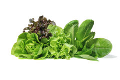 Set with lettuce salad on white background. Fresh Romaine Lettuce , Cos Lettuce, Red and Green Oakleaf lettuce Vegetable salad isolated on white background Royalty Free Stock Images