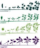 Set of life cycles of different agricultural plants. Growth stages of tomato, pepper, eggplant and cucumber plant. Isolated on white background stock illustration