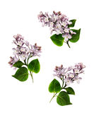 Set of lilac branches Stock Photography