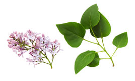 Set of lilac flowers and leaves Royalty Free Stock Photography