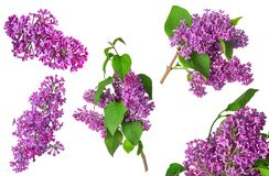 Set of lilac isolated Stock Photos
