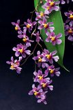 Set of lilac  orchid flowers. Wonderful set of small  lilac orchid flowers. Macro lens. Close up Stock Photos
