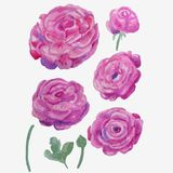Set of lilac watercolor buttercups on white background royalty free illustration