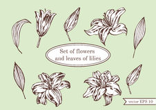 Set of lilies  on green background. Hand drawn  illustration. Stock Photography