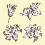 Set of lilies isolated on beige background. Hand drawn  illustration. Flower set Royalty Free Stock Images