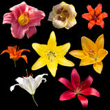 Set of Lilies isolated on a black background Royalty Free Stock Images
