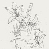 Set of lilies  on white background. Royalty Free Stock Photo