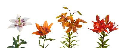 Set Lily Asiatic hybrids  on a white background isolated Stock Photo