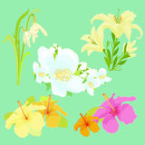 Set lily flowers jasmine, hibiscus, snowdrop vector illustration Royalty Free Stock Photo