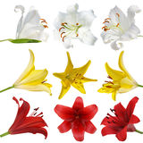 Set lily on white background isolated Royalty Free Stock Images