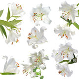 Set lily  white Stock Photography