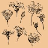 Set of line drawing chamomiles Royalty Free Stock Images