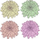 Set of linear drawing chrysanthemums Royalty Free Stock Images