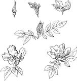 Set of linear drawing flowers from sweet briar Royalty Free Stock Photos