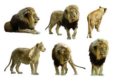 Set of  lions. Isolated over white Royalty Free Stock Photo