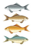 Set of live colour fish. Set of live color fishes. Eps10  illustration. Isolated on white background Stock Image