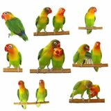 Set Lovebird isolated on white Stock Photography