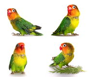 Set lovebird isolated on white Agapornis fischeri Royalty Free Stock Images