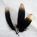 Set luksus ozłacał złocistego złotego czarnego łabędź piórko na biel koronki tle Zdjęcie Royalty Free