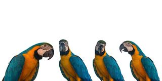 Set of Macaw Parrot on white background royalty free stock photography