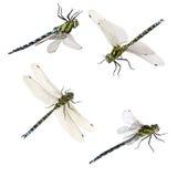 Set of macro shots of dragonfly. Isolated on white background Royalty Free Stock Image