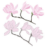 Set of magnolia isolated on white background. Hand drawn  Royalty Free Stock Photography