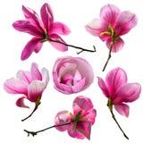 Set magnoliowy kwiatu okwitnięcie odizolowywający na białym tle 8 karciany eps kartoteki powitanie zawierać szablon Obraz Royalty Free