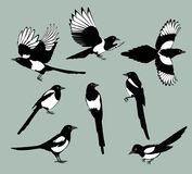 Set magpie birds. Set of black isolated vector silhouettes of birds magpie . Bird Poses. Vector illustration Stock Illustration