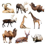 Set of mammal animals over white background with shadows. Set of Artiodactyla mammal animals. Nine different animals over white background with shadows Stock Photography