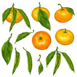 Set of mandarins. Tropical fruits and leaves Stock Image
