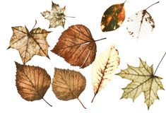 Set of many bright multi-colored old dilapidated autumn leaves o. F different trees on white background Royalty Free Stock Image
