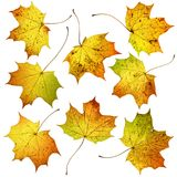 Set of many colorful autumn fall maple leaves, isolated on white background. Royalty Free Stock Photos